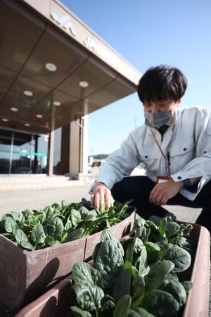 諏訪市の本所でちぢみホウレンソウ栽培.jpg