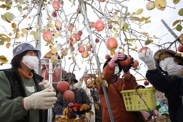 諏訪市ブロックリンゴ狩り.jpg